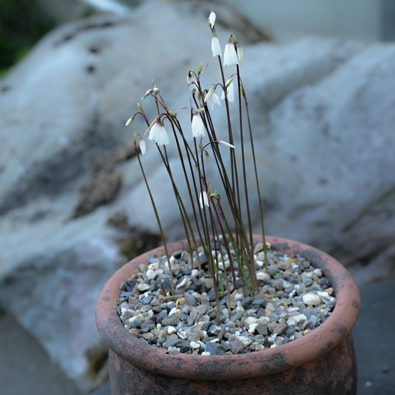 Acis autumnalis plant