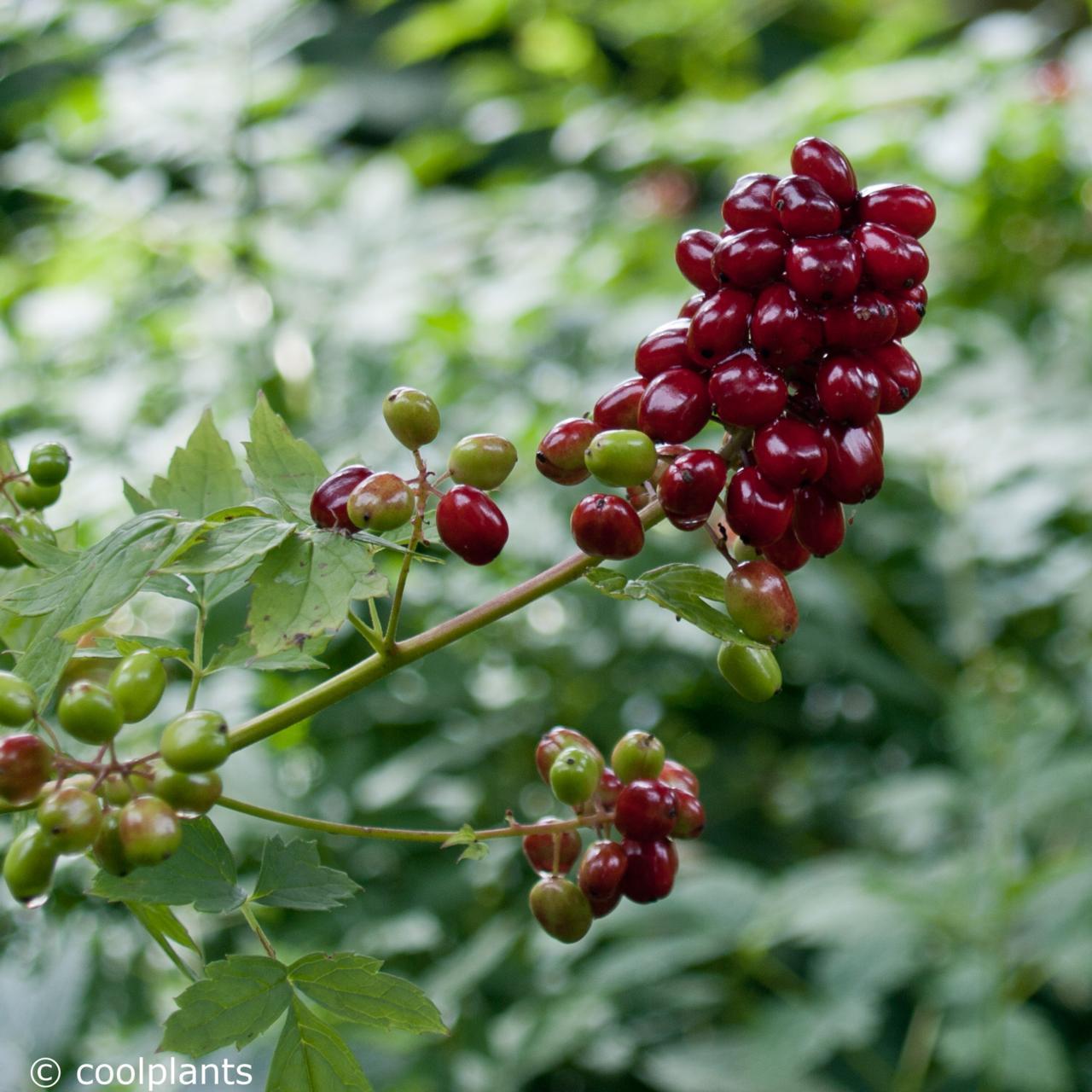 Actaea rubra plant