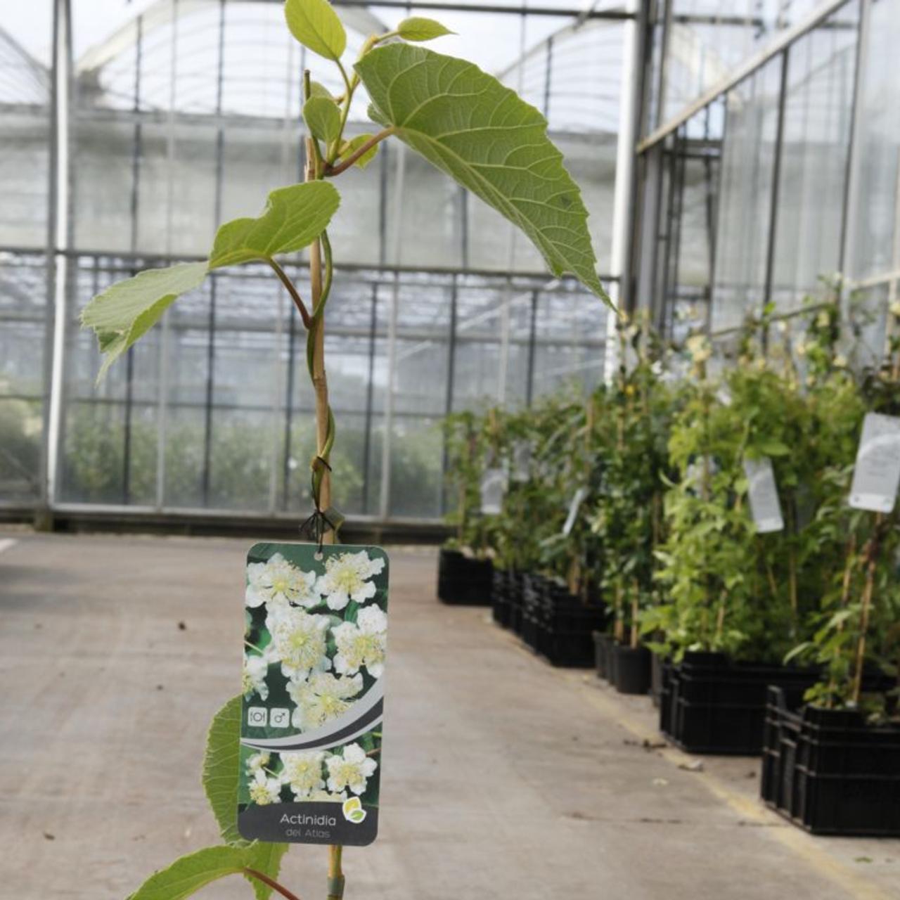 Actinidia deliciosa 'Atlas' plant
