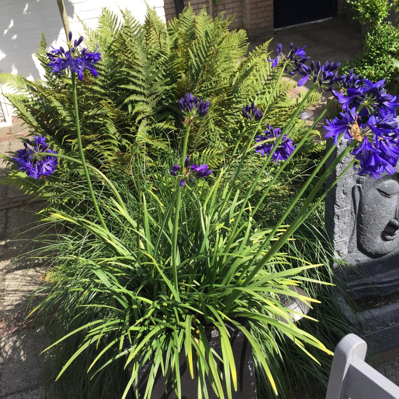 Agapanthus 'Northern Star' plant