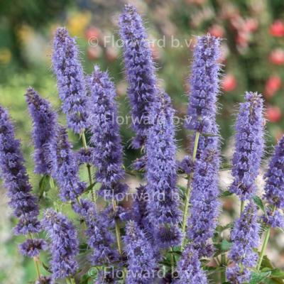agastache-blue-fortune