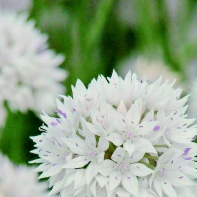 allium-amplectens-graceful-beauty
