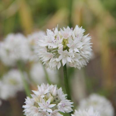 allium-amplectens-graceful-beauty