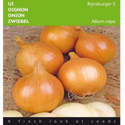 allium-cepa-rijnsburger-5