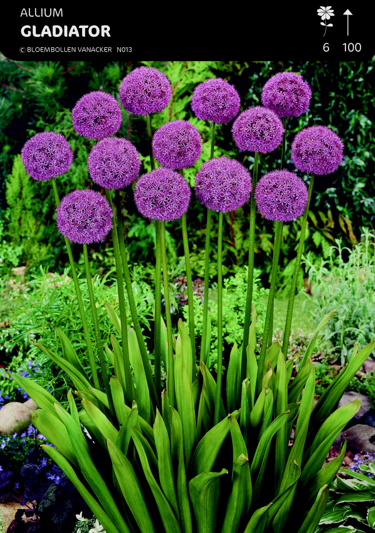 Allium 'Gladiator' plant