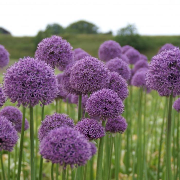 Allium 'Gladiator' plant