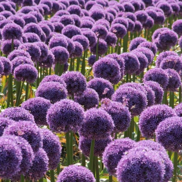 Allium 'Globemaster' plant