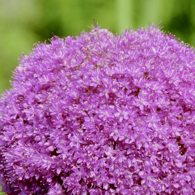 allium-lucy-ball