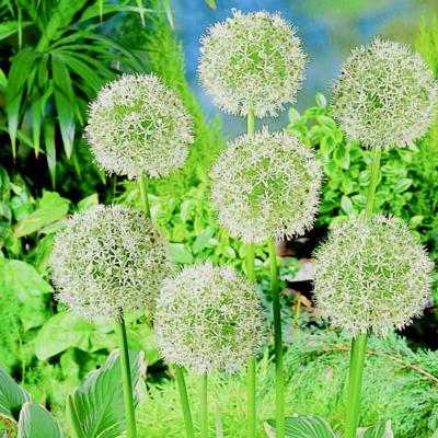 allium-mount-everest