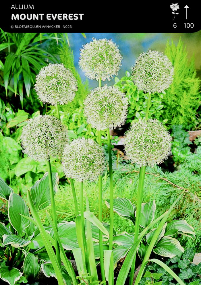 Allium 'Mount Everest' plant