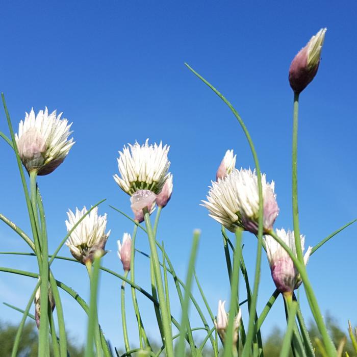 Allium schoenoprasum 'Elbe' plant