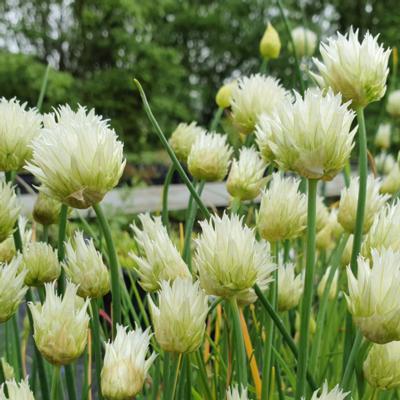 allium-schoenoprasum-f-albiflorum