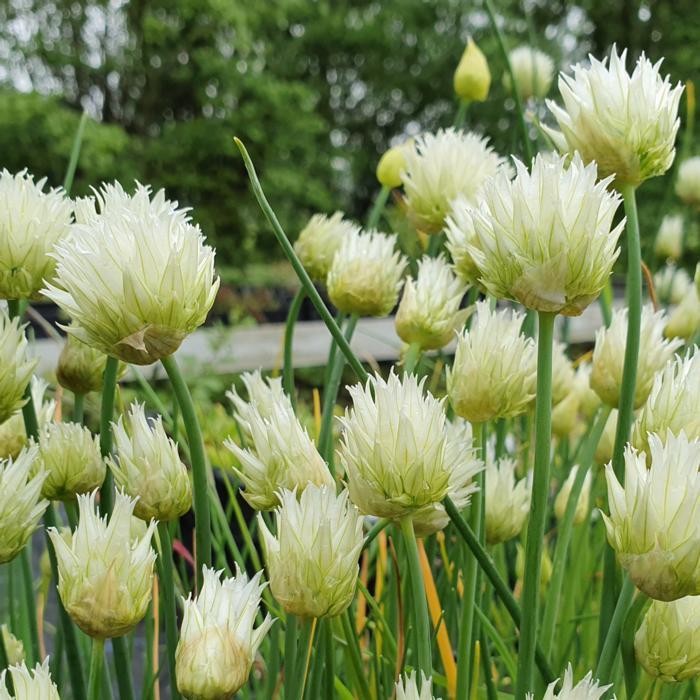 Allium schoenoprasum f. albiflorum plant