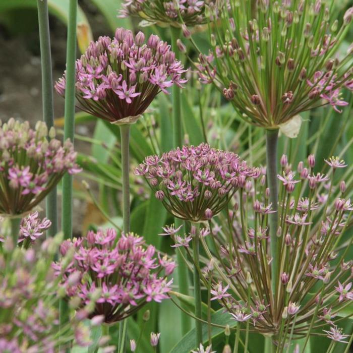 Allium schubertii plant