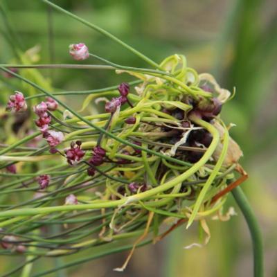 allium-scorodoprasum-art