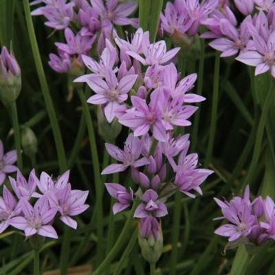 allium-unifolium