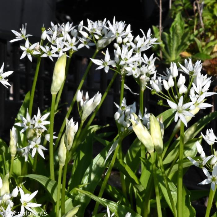 Allium ursinum plant