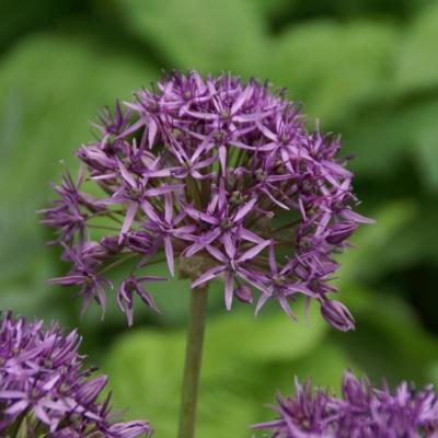 allium-violet-beauty