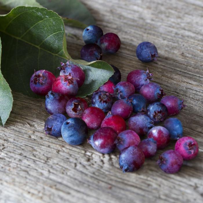 Amelanchier 'Saskatoon Berry' plant