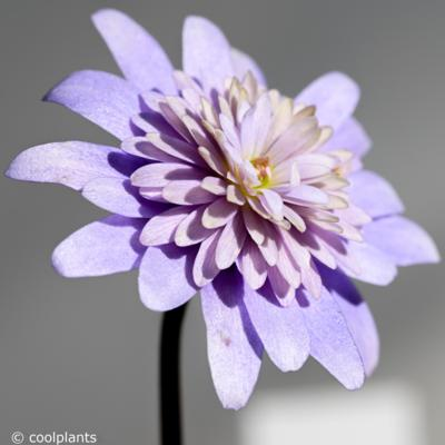 anemone-apennina-double-form