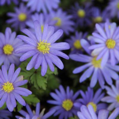 anemone-blanda-blue-shades