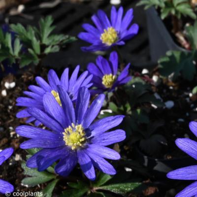 anemone-blanda-ingramii
