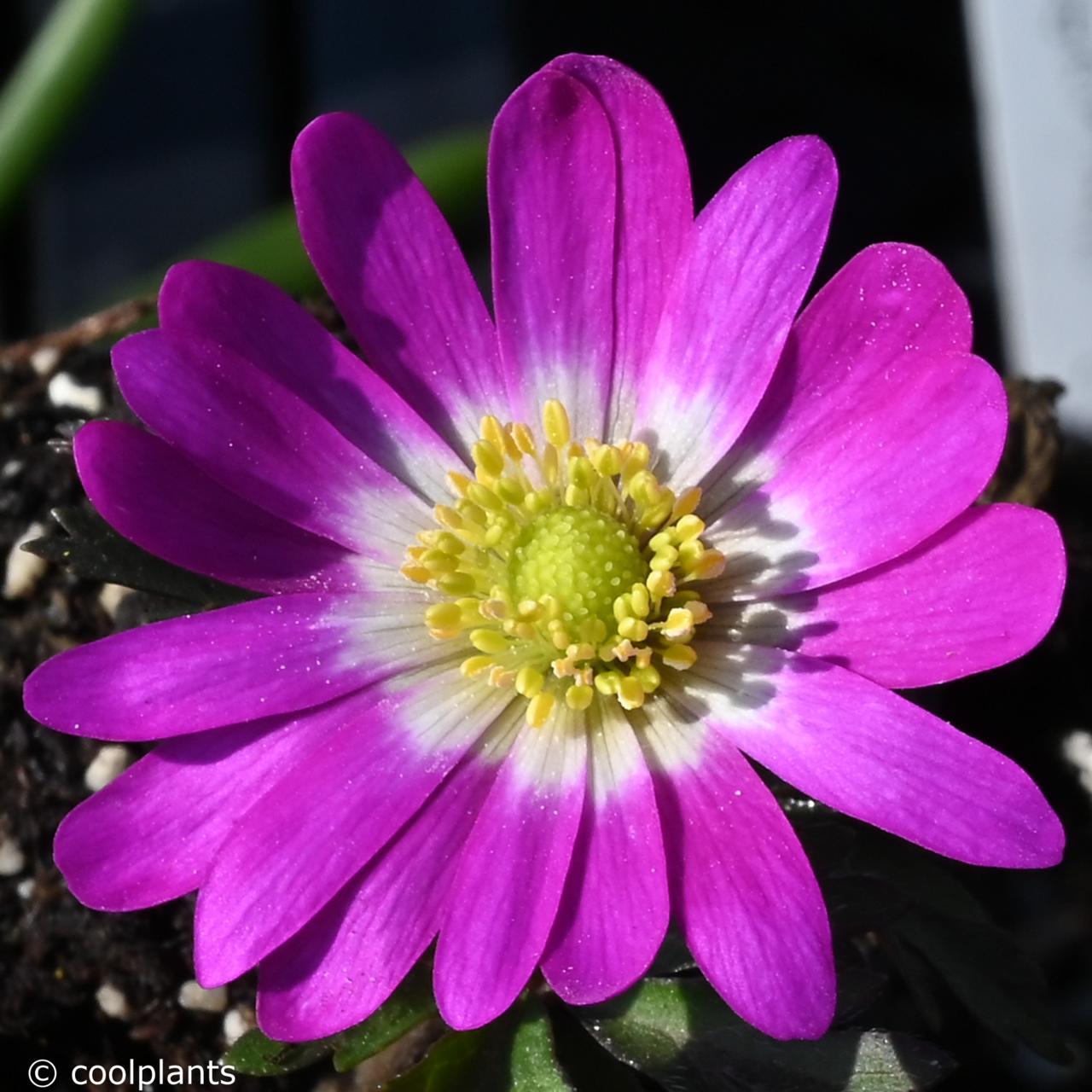 Anemone blanda 'Radar' plant