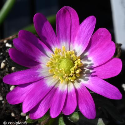 anemone-blanda-radar