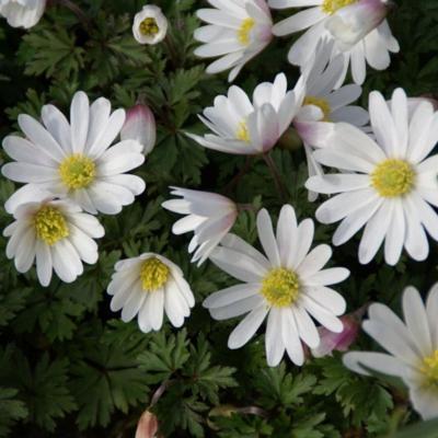 anemone-blanda-white-splendour