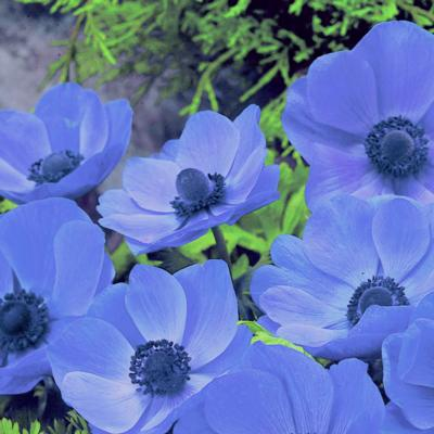 anemone-coronaria-mr-fokker