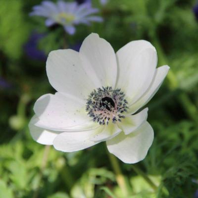 anemone-coronaria-the-bride