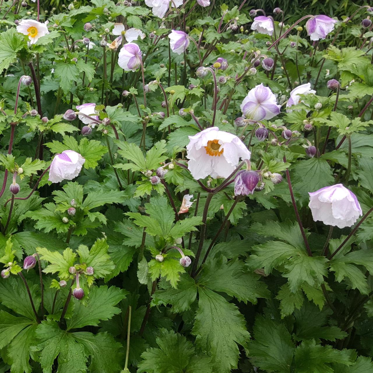 Anemone 'Elfin Swan' plant