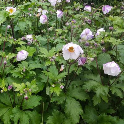 anemone-elfin-swan