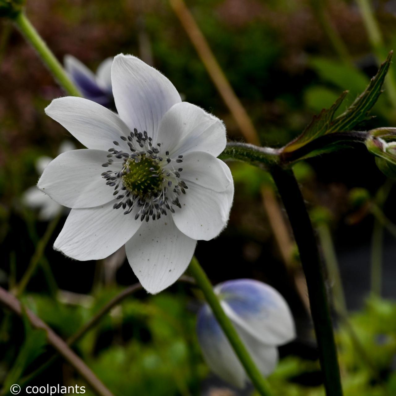 Anemone leveillei plant