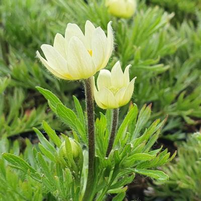 anemone-multifida-compacta