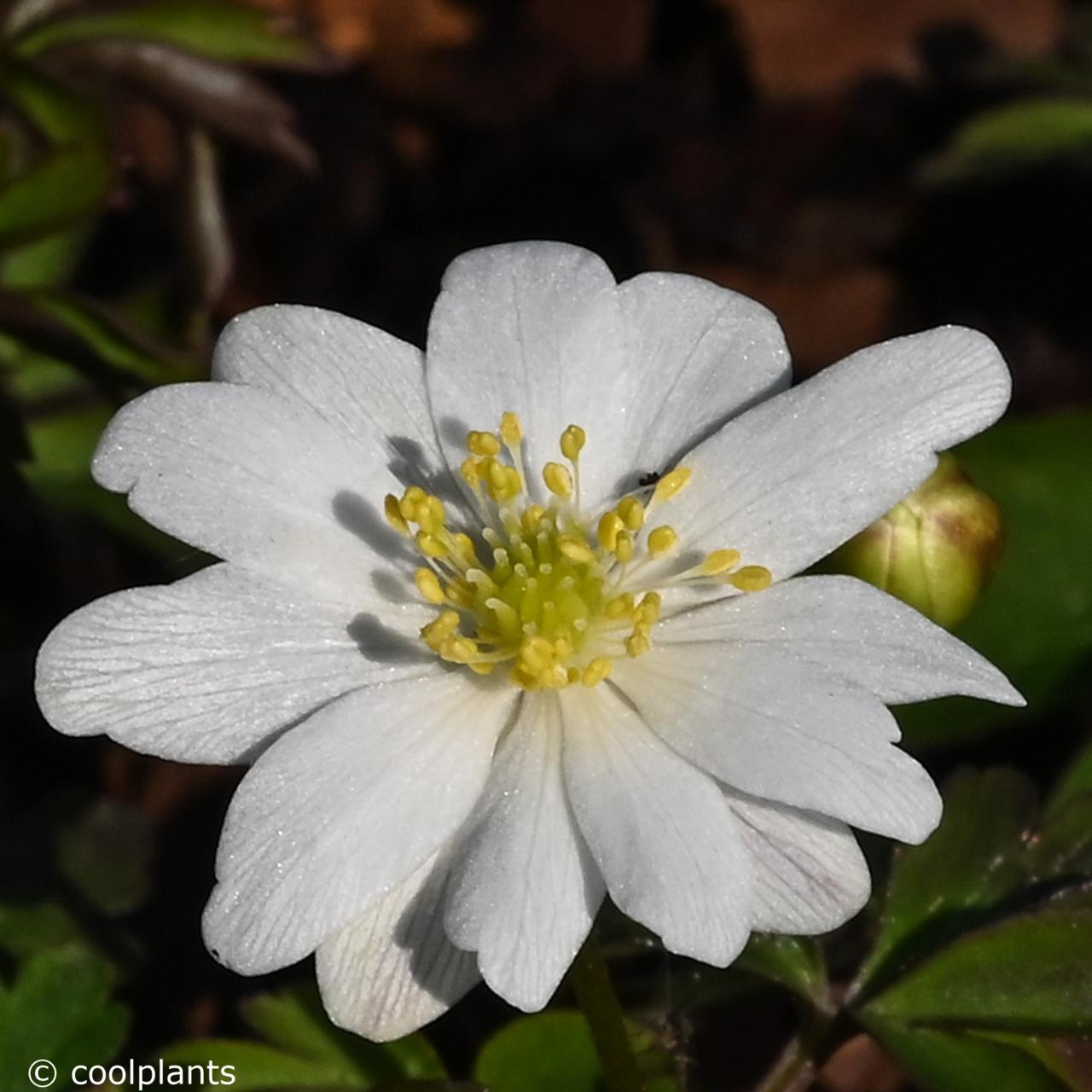 Anemone nemorosa 'Hilda' plant