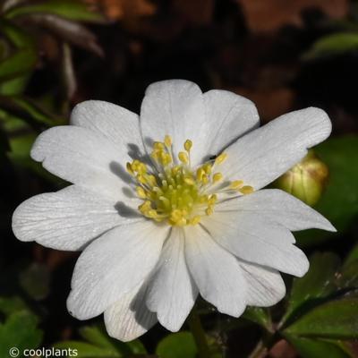 anemone-nemorosa-hilda