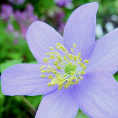 anemone-nemorosa-royal-blue
