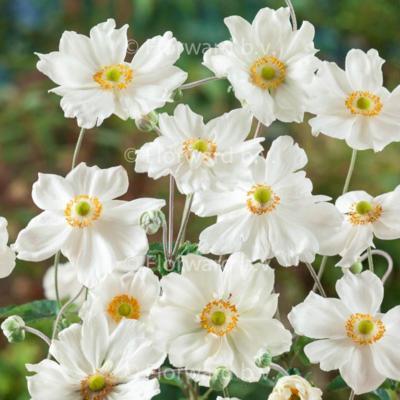 anemone-x-hybrida-honorine-jobert
