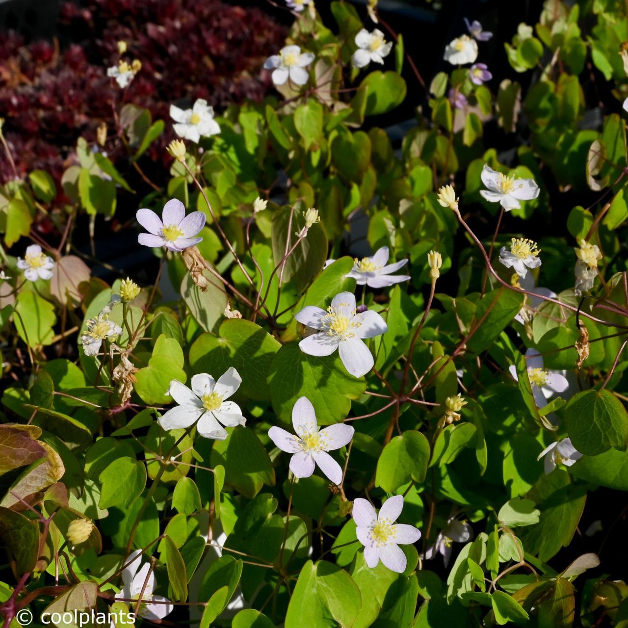 Anemonella thalictroides f. rosea plant