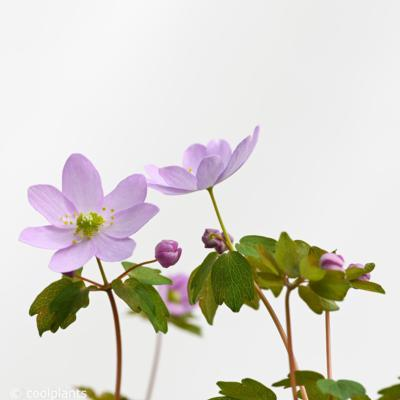anemonella-thalictroides-f-rosea