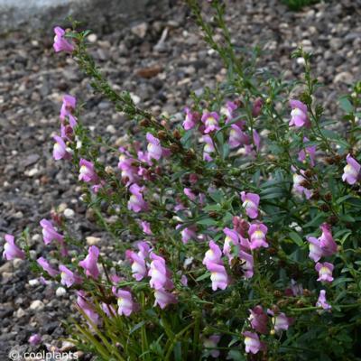 antirrhinum-majus-pretty-in-pink