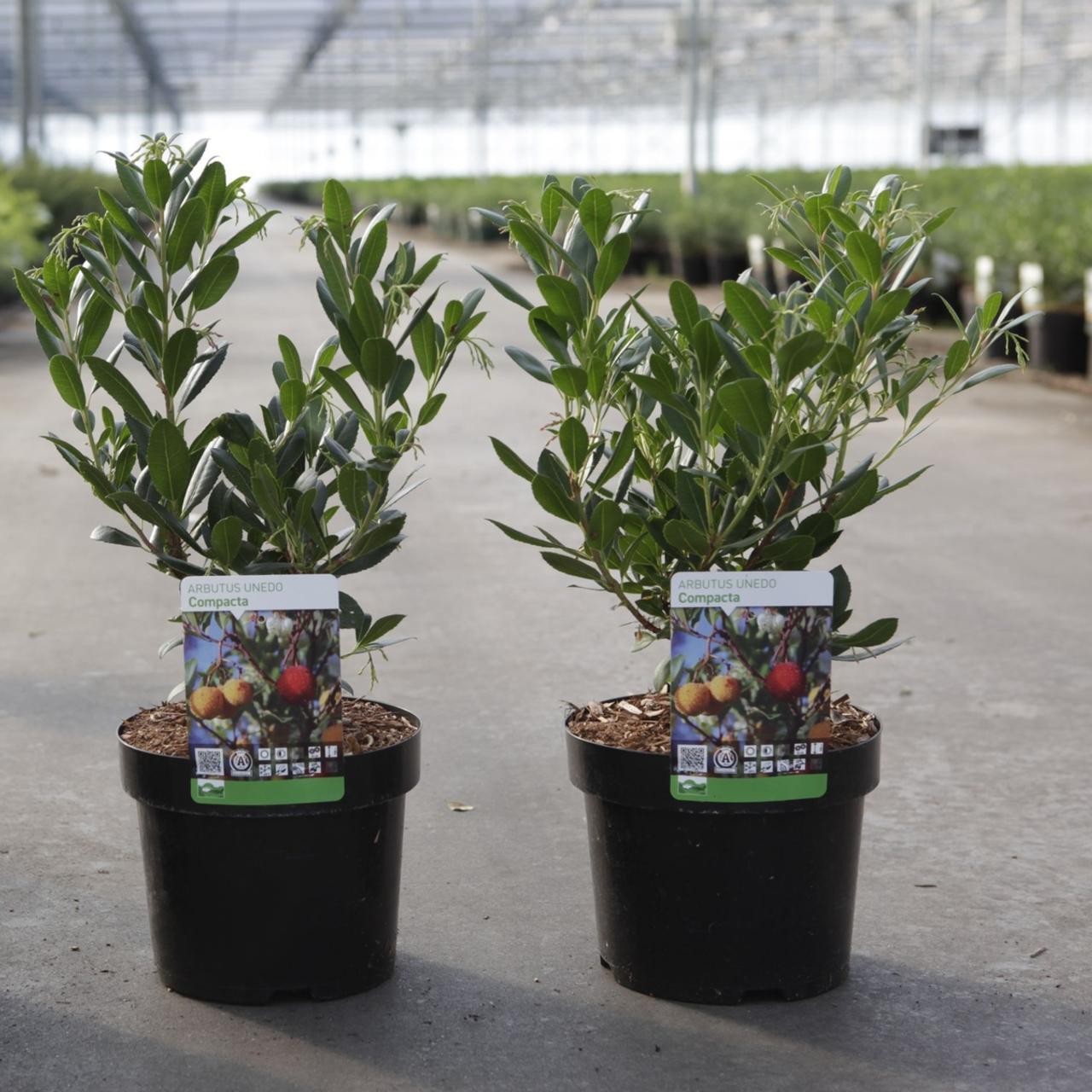 Arbutus unedo 'Compacta' plant