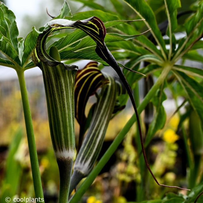 Arisaema ciliatum var. liubaense plant