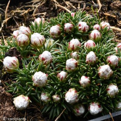 armeria-juniperifolia-babi-lom