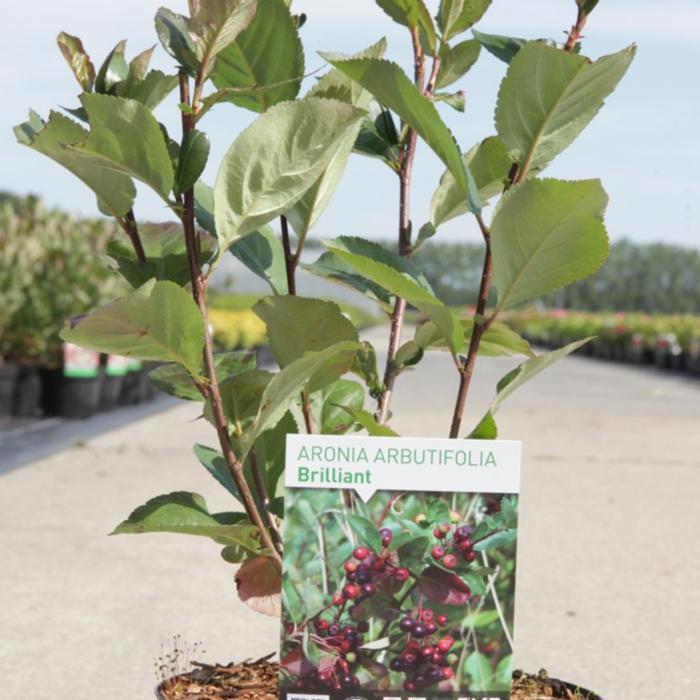 Aronia arbutifolia 'Brilliant' plant
