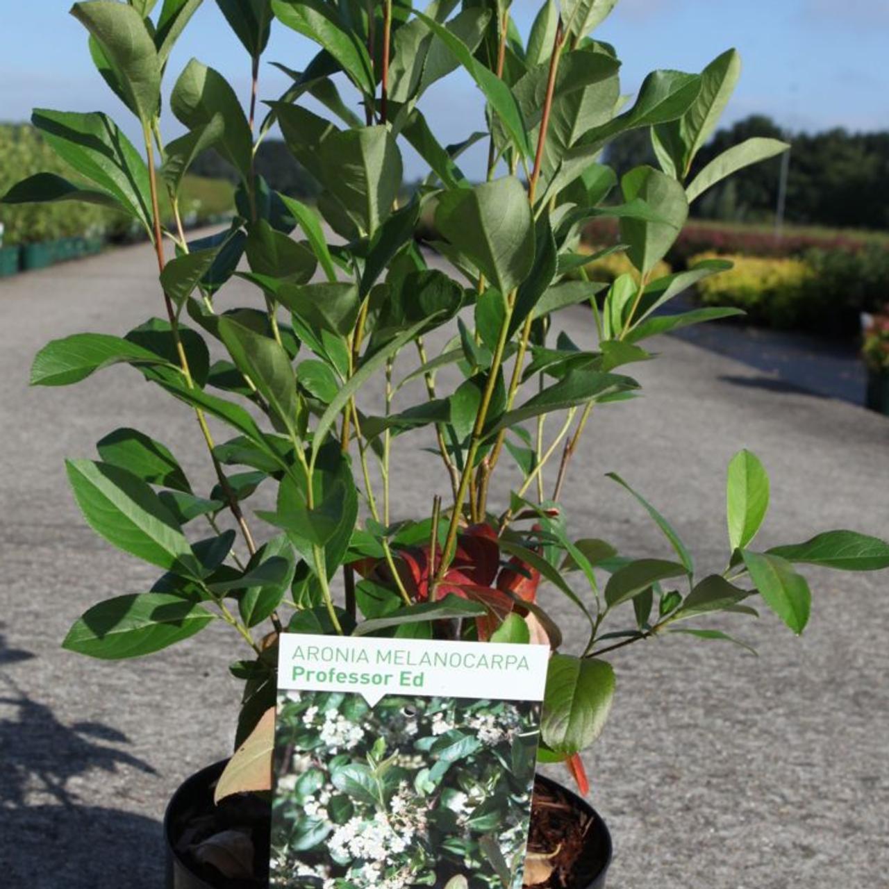 Aronia melanocarpa 'Professor Ed' plant