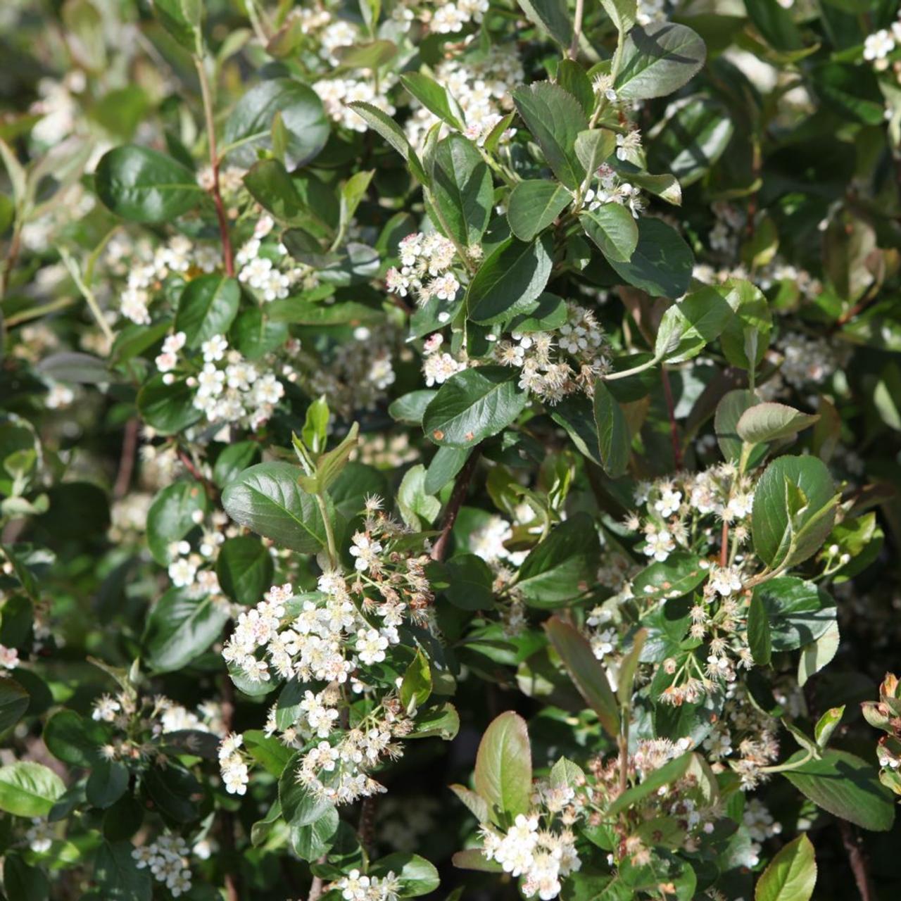 Aronia x prunifolia 'Viking' plant