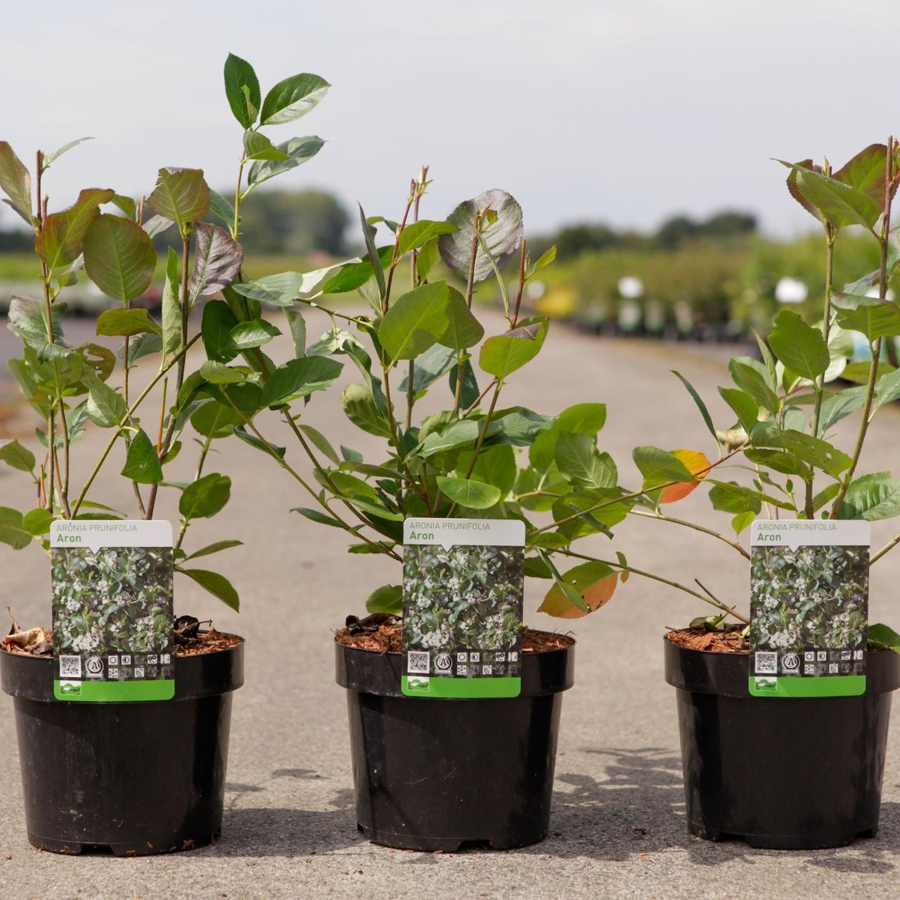 Aronia x prunifolia 'Aron' plant