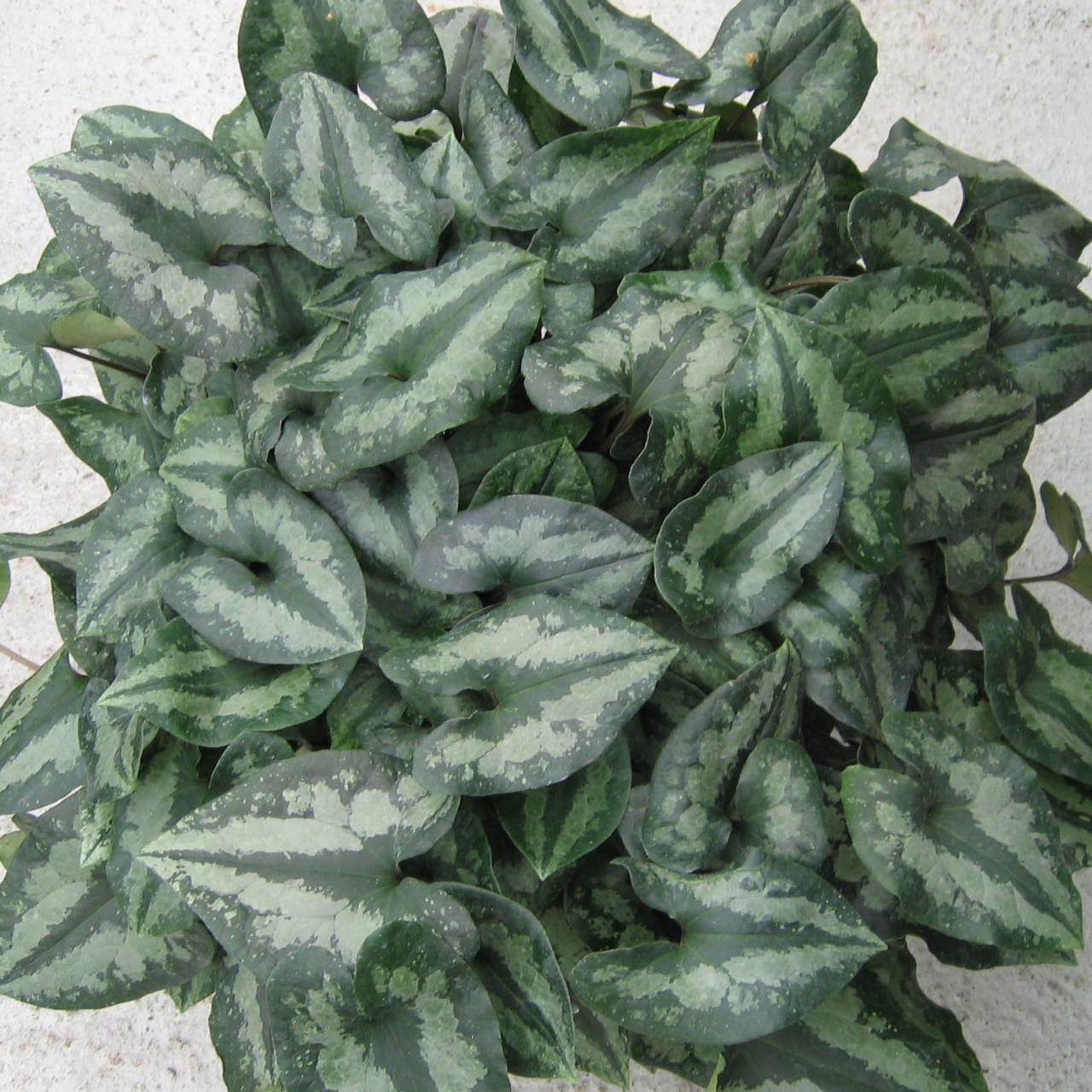 Asarum splendens plant